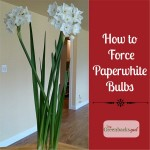 DIY Christmas Gift: Plant Paperwhites