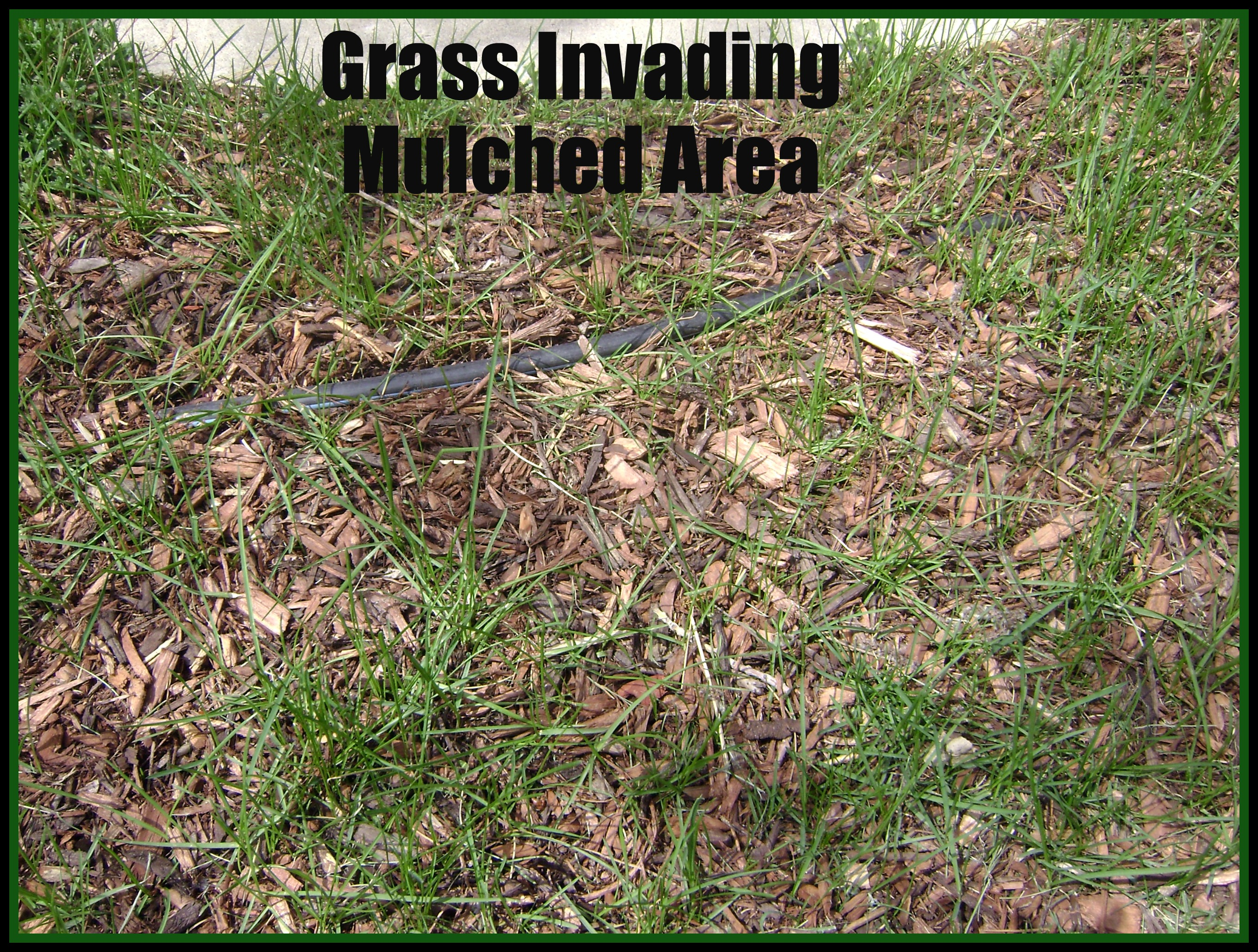 Kill weeds in flower beds - Grass Invading Mulched Area