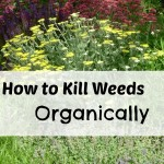 How to Kill Weeds Organically