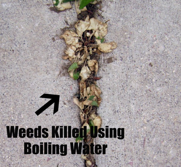 Weeds Killed Using Boiling Water