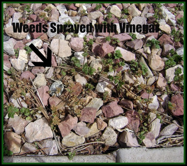 Weeds Sprayed with Vinegar