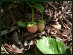 Growing Green: Beets and Berries
