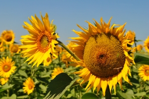 Natural Cleaning Recipes for your home - sunflower picture