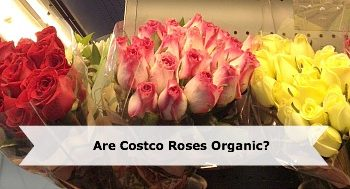 Do You Know: Are Costco Roses Organic?