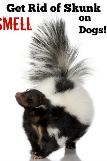 All Natural Way to Get Rid of Skunk Smell on Dogs!