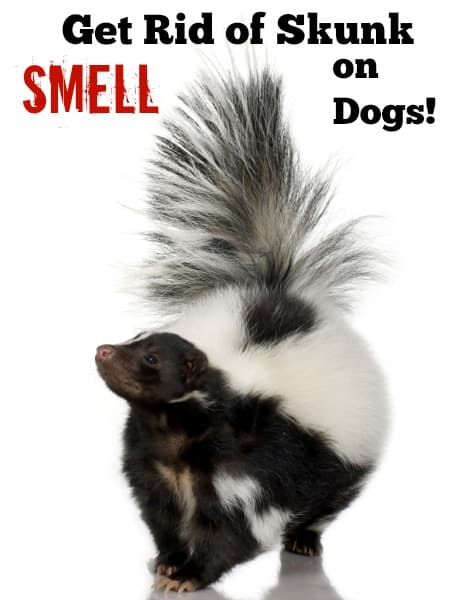 All Natural Way To Get Rid Of Skunk Smell On Dogs